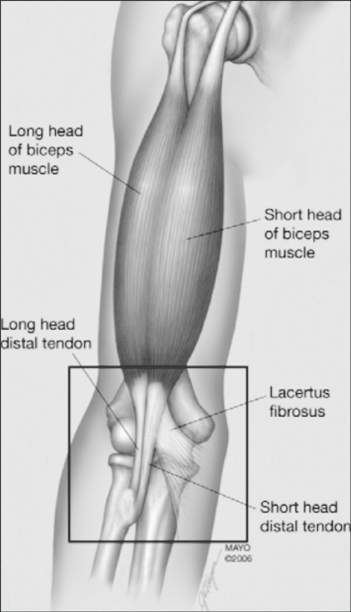 hight resolution of anatomy of the biceps brachii note the distal attachment to the radial head via the