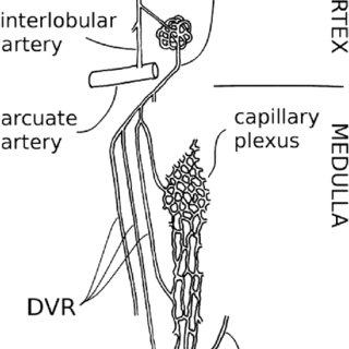 Anatomy of the vascularization of the medulla. AVR