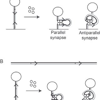 Unlinking of replication catenanes by XerCD-FtsK. (A) The
