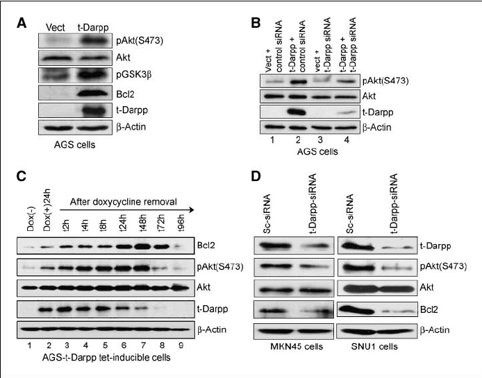 Phosphorylation of Akt is induced by t-Darpp. A, protein