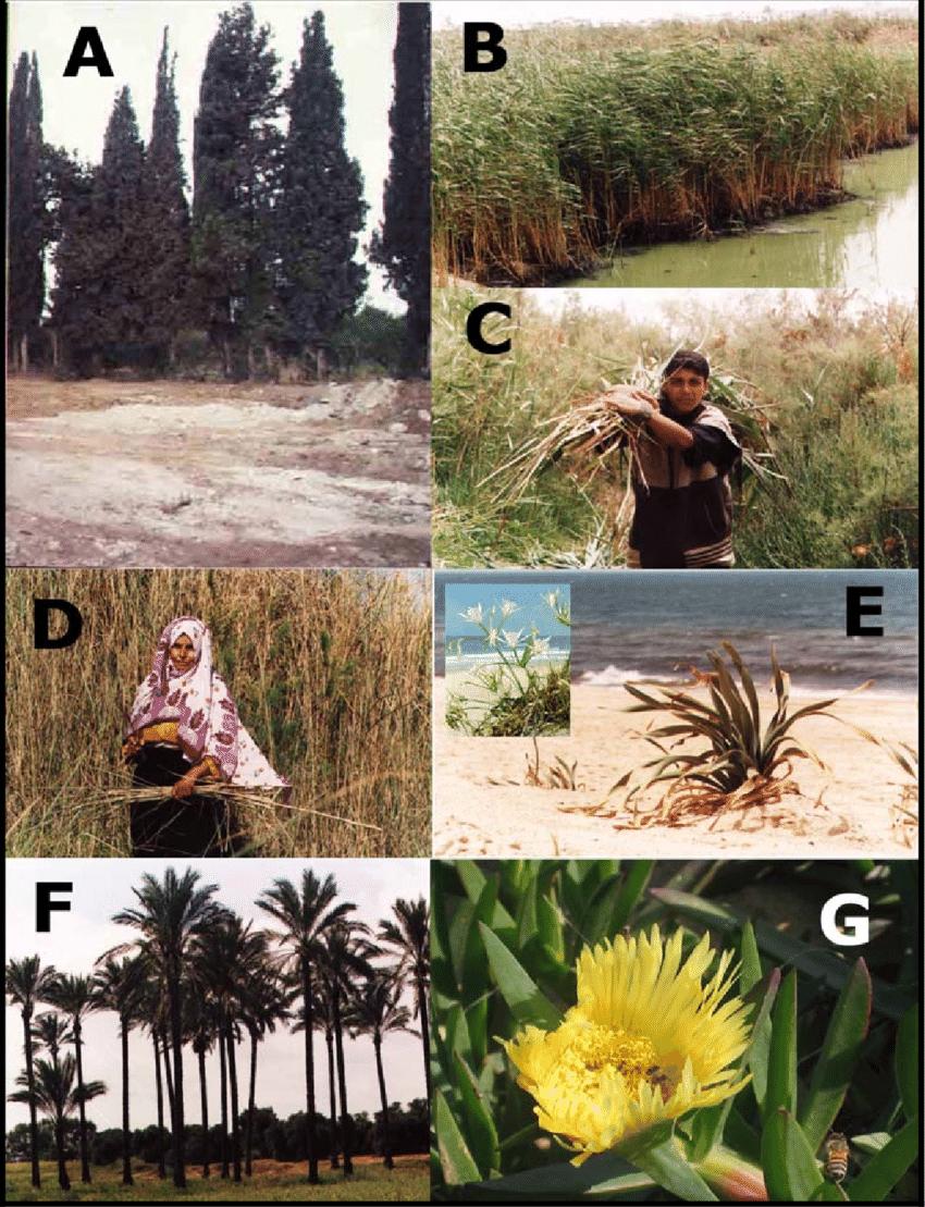 hight resolution of flora of wadi gaza a evergreen cypress cupressus sempervirens b c download scientific diagram