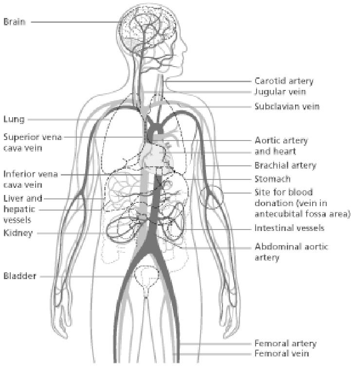 2: Simplifi ed circulatory system showing major vessels