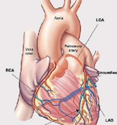 heart and arteries anatomical [ 850 x 1007 Pixel ]