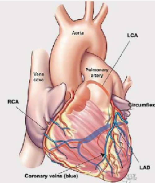 small resolution of heart and arteries anatomical