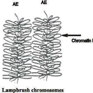 Schematic representation of synaptonemal complex. The