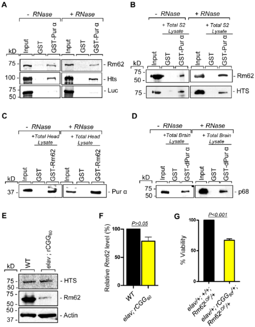 small resolution of rm62 and hts directly interact with pur a and fragile x premutation rcgg repeats decrease the