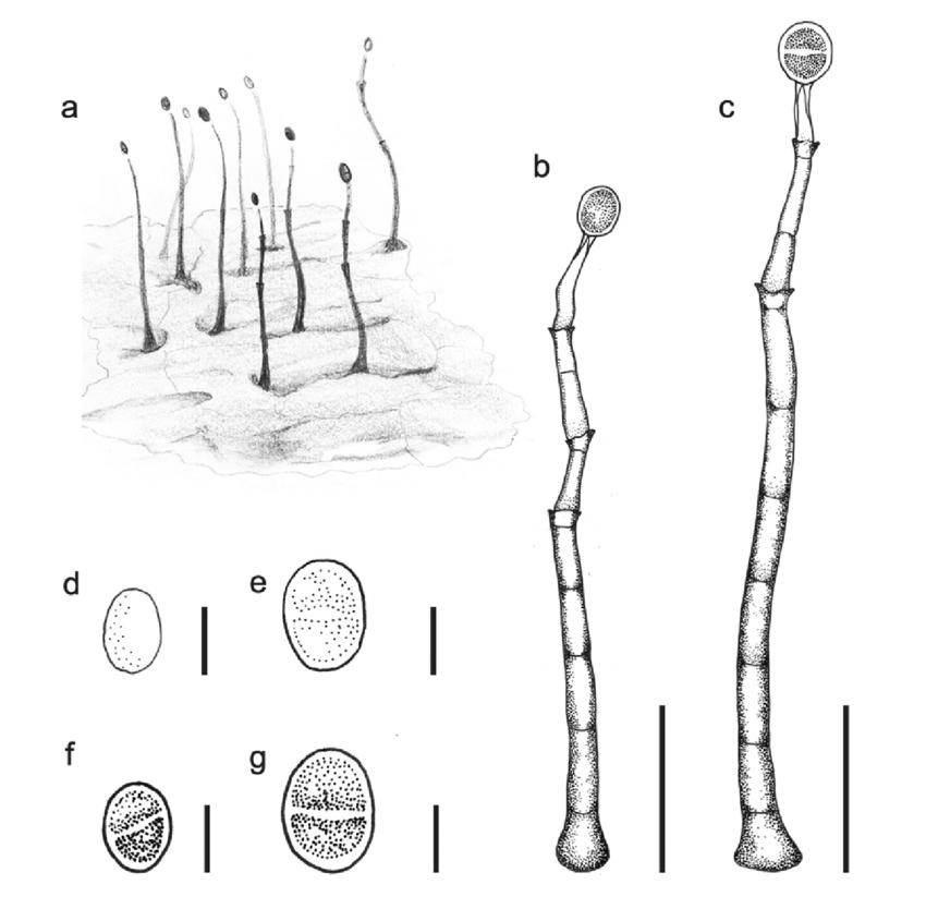 Talekpea foeticia re-drawn from Lunghini & Rambelli (1979