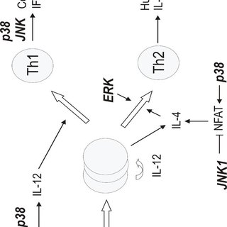 Signalling cascades if MAP kinases. Activation of MAP
