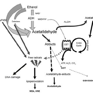 Alcohol Metabolism. The enzymes alcohol dehydrogenase (ADH