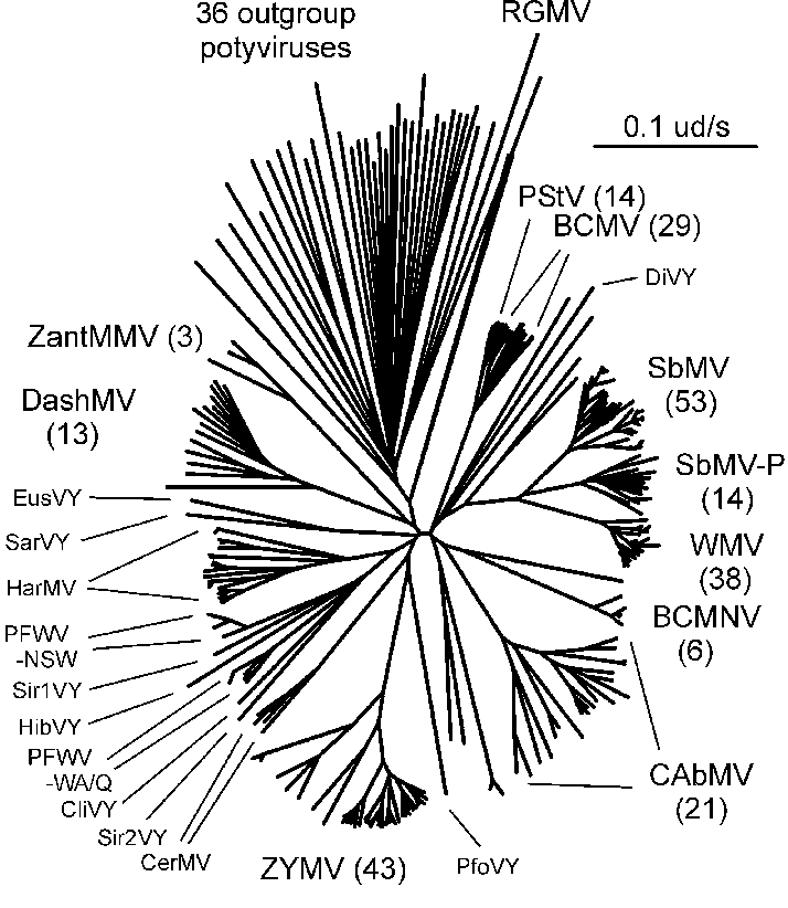 The bean common mosaic virus lineage of potyviruses