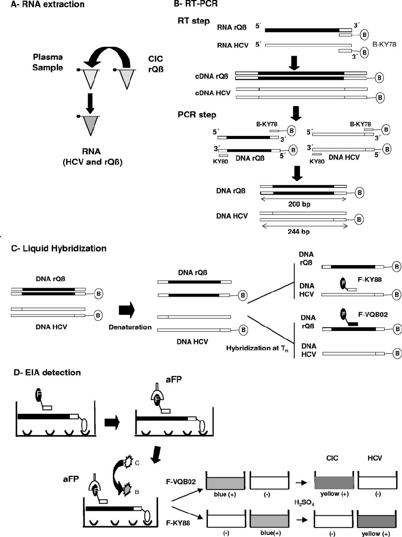 Steps of the CIC-HCV RT-PCR assay. (A) RNA extraction. A