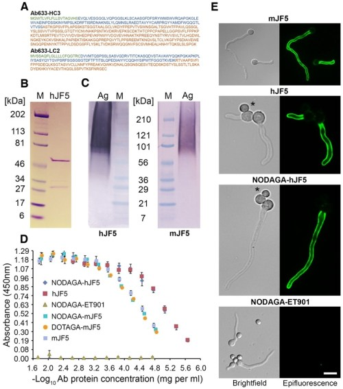 small resolution of immuno reactivities of the mjf5 and hjf5 antibodies and their dotaga and nodaga chelator labeled derivatives a amino acid sequences of the heavy and light
