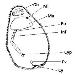 (PDF) New record of protozoan Nyctotherus hardwickii