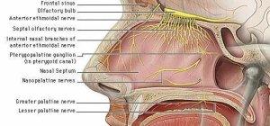 4) nerve supply of nasal septum ((Basic