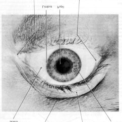 Parts Of The Eyelid Diagram Car Ac Schematic Front View Eyelids Pupil And Other Visible Eye