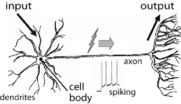 1. Schematic diagram of a neuron, showing its dendrites