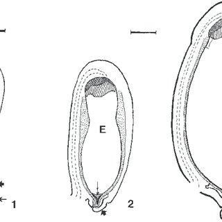 (PDF) Anatomía de la semilla de Tigridia pavonia (Iridaceae)