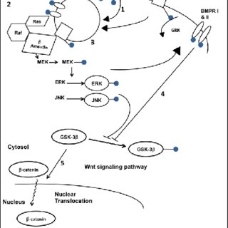 Signaling pathways involved in osteogenic differentiation