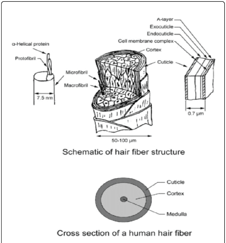 Schematic of human hair structure and cross-section (Wei