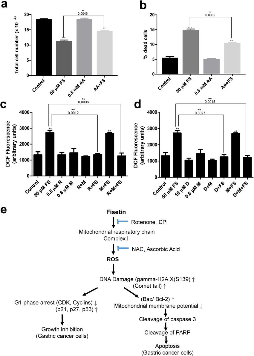medium resolution of proposed mechanism of fisetin induced apoptosis in human gastric cancer cells a and b effect of pre treatment of ascorbic acid on cell proliferation and