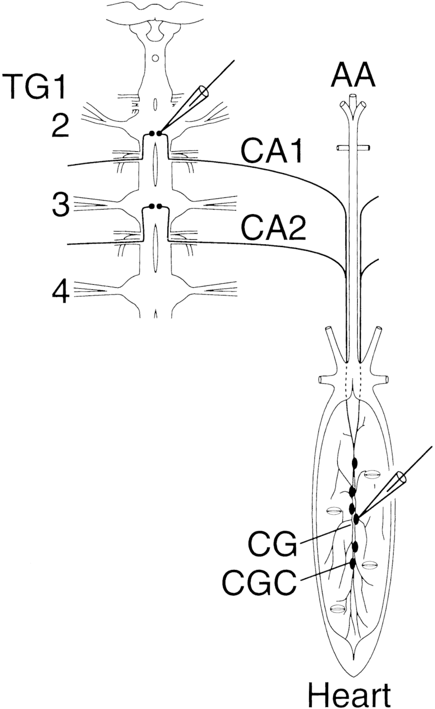 hight resolution of schematic drawing of the central nervous system cns dorsal view and the heart ventral view microelectrodes for tracer injection into cell bodies of a