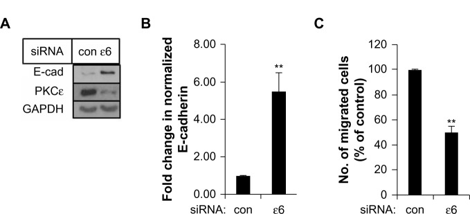 PKCε depletion increased E-cadherin and reduced cell