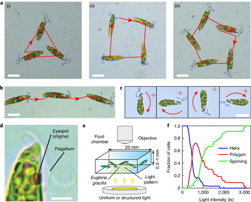 euglena cell diagram with labels honda xrm cdi wiring gracilis cells swim in striking polygonal patterns following download scientific