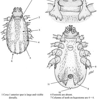 Life-cycle of a multi-host argasid tick. Example is
