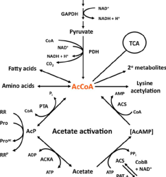 acetyl coenzyme a accoa is the keystone molecule of central download scientific diagram [ 850 x 986 Pixel ]