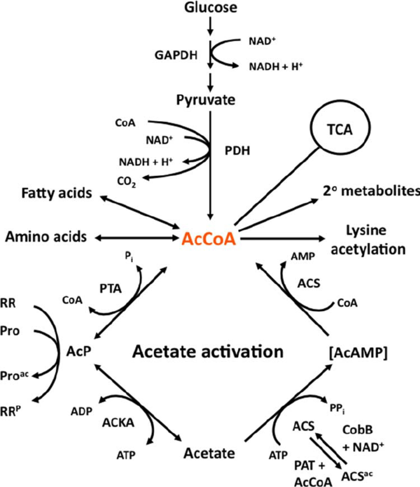 medium resolution of acetyl coenzyme a accoa is the keystone molecule of central download scientific diagram