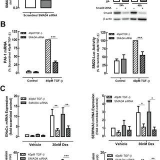 Effect of TGF-β on glucocorticoid transrepression. (A