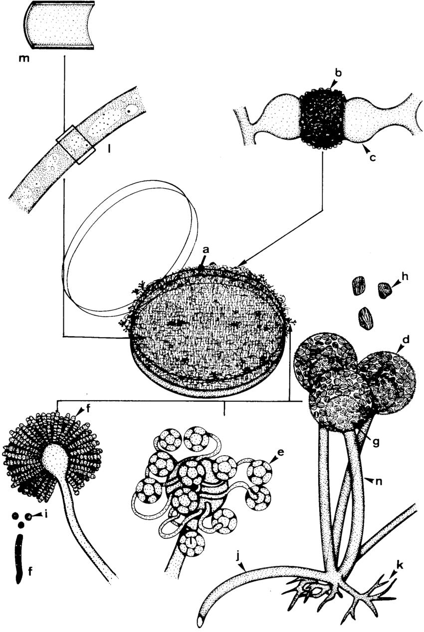 Typical characteristics of zygomycetes. a, mycelial colony