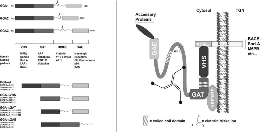 Human GGA protein family members. The GGA proteins were