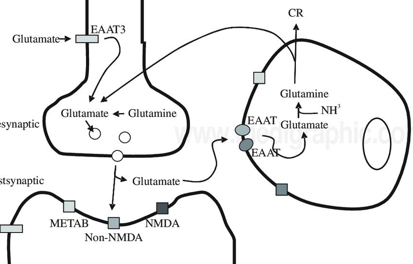 Schematic representation of the glutamate-glutamine cycle
