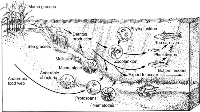 4 Food web diagram for a typical estuarine ecosystem