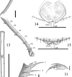 charinus jibaossu new species 9 trochanter femur and tibia of the download scientific diagram [ 850 x 1572 Pixel ]