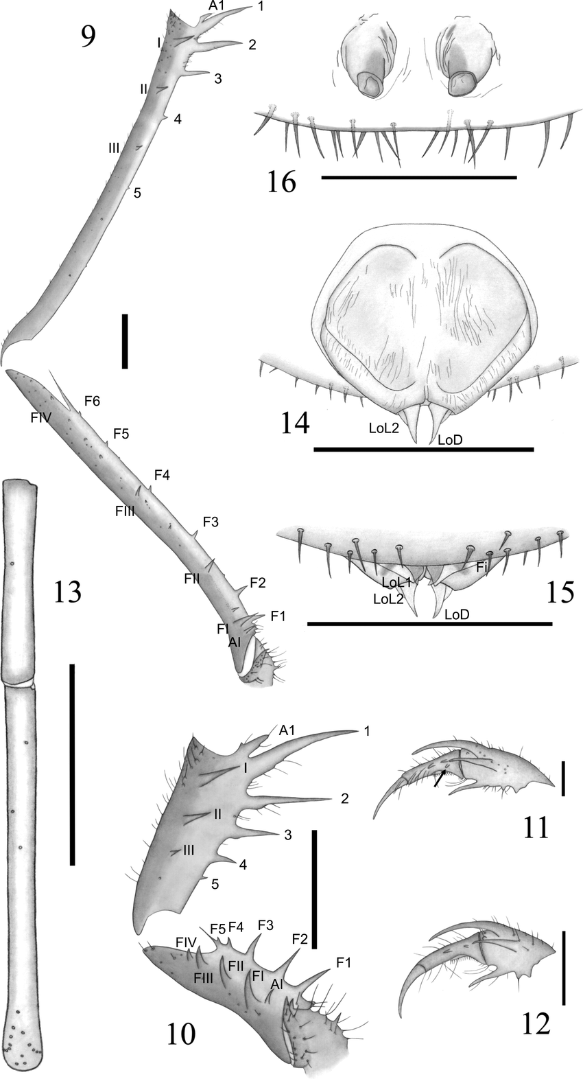 hight resolution of  charinus jibaossu new species 9 trochanter femur and tibia of the download scientific diagram