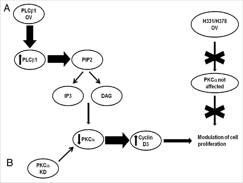 Schematic diagram representing the possible pathway