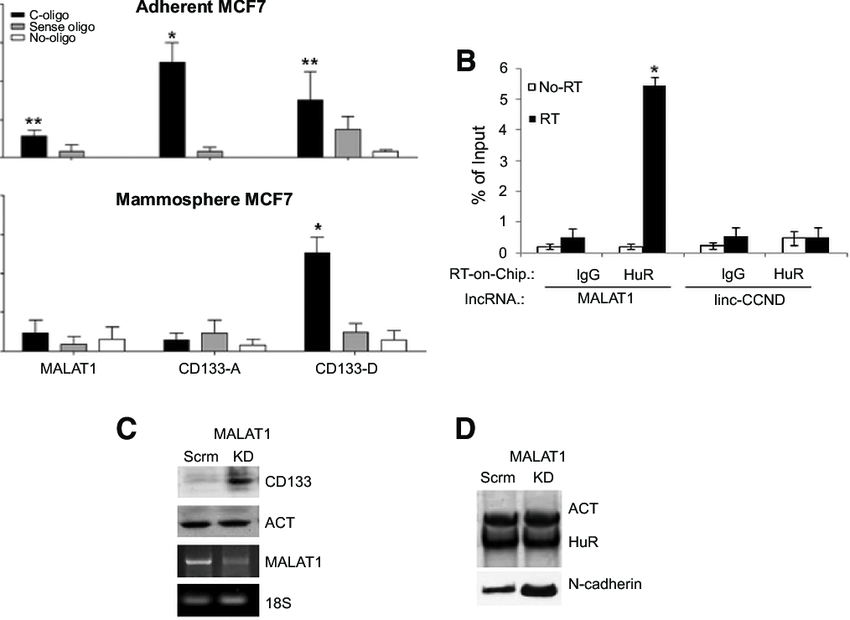 Differential binding sites of MALAT1 in mammospheres and