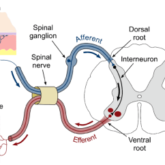Reflex Arc Diagram Star Delta Wiring Control Schematic Representation Of A Spinal Pin In The Skin Download Scientific