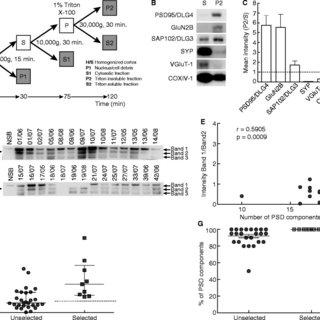 Comparative GluN2B degradation between brain areas. A