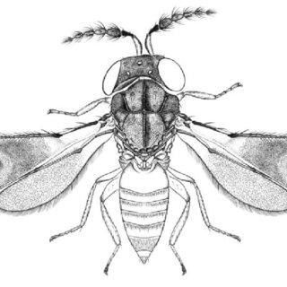 (PDF) Revision of the genus Parzaommomyia Girault