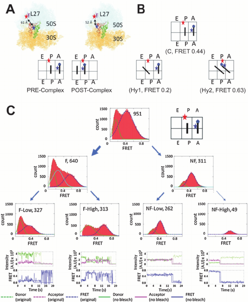 hight resolution of folding heterogeneity of the bacterial ribosome 64 a structural and schematic representations of the fluorophore labeled e coli ribosome in the
