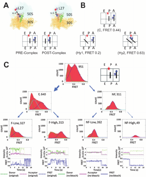 small resolution of folding heterogeneity of the bacterial ribosome 64 a structural and schematic representations of the fluorophore labeled e coli ribosome in the