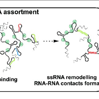 (PDF) Protein-mediated RNA folding governs sequence