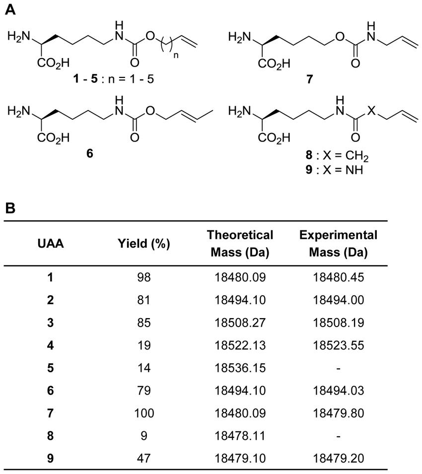 hight resolution of genetic incorporation of alkene lysine analogs into myoglobin by the wild type mbpylrs