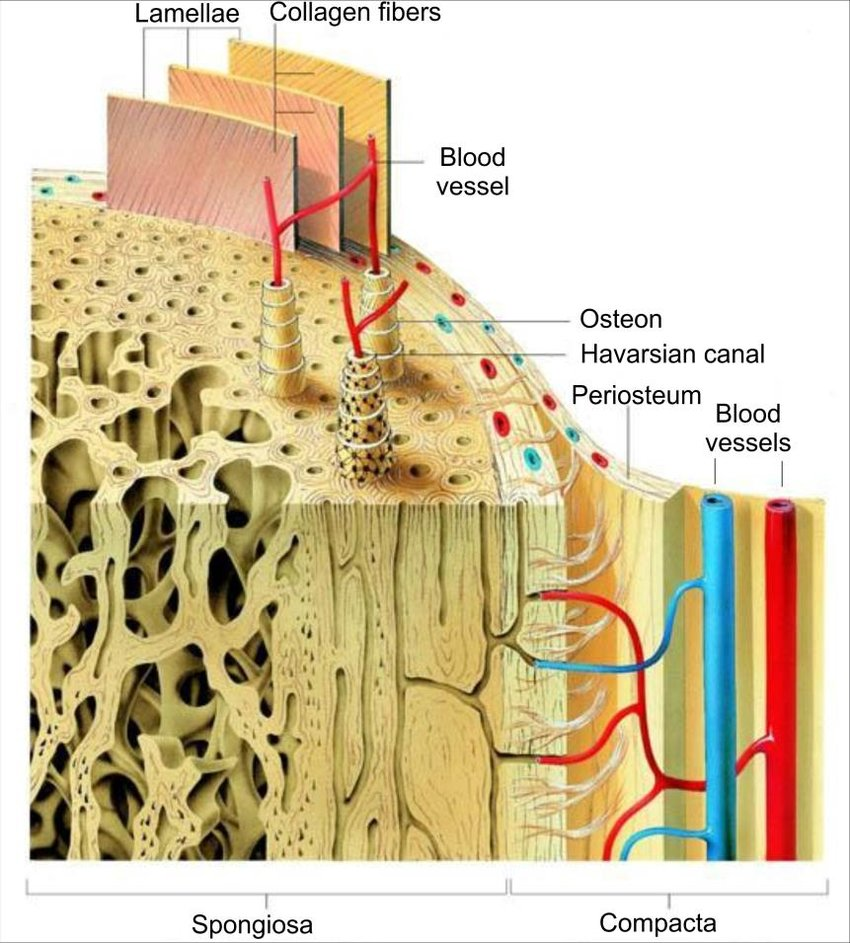 hight resolution of microscopic structure of human lamellar bone 35 download scientific diagram