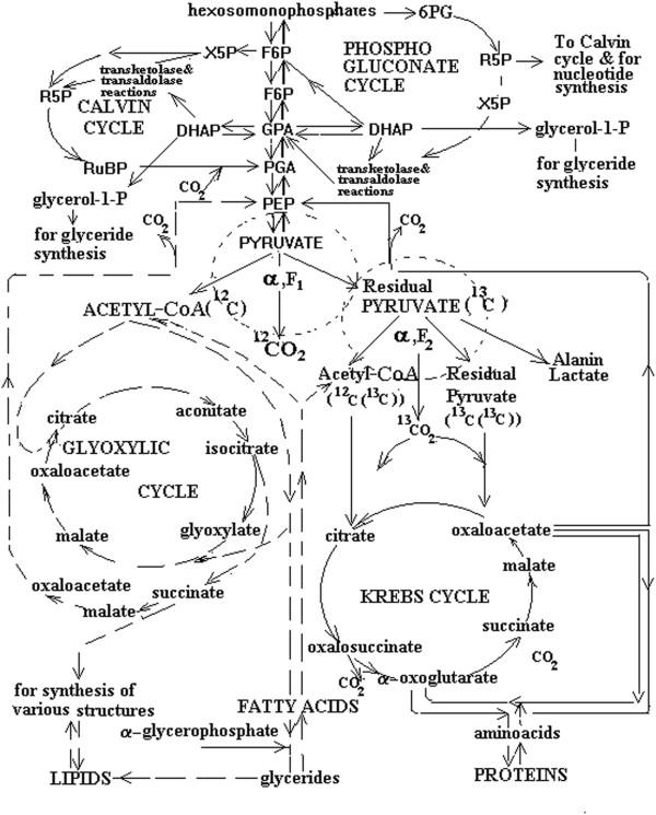 enzymatic diagram of glycolysis