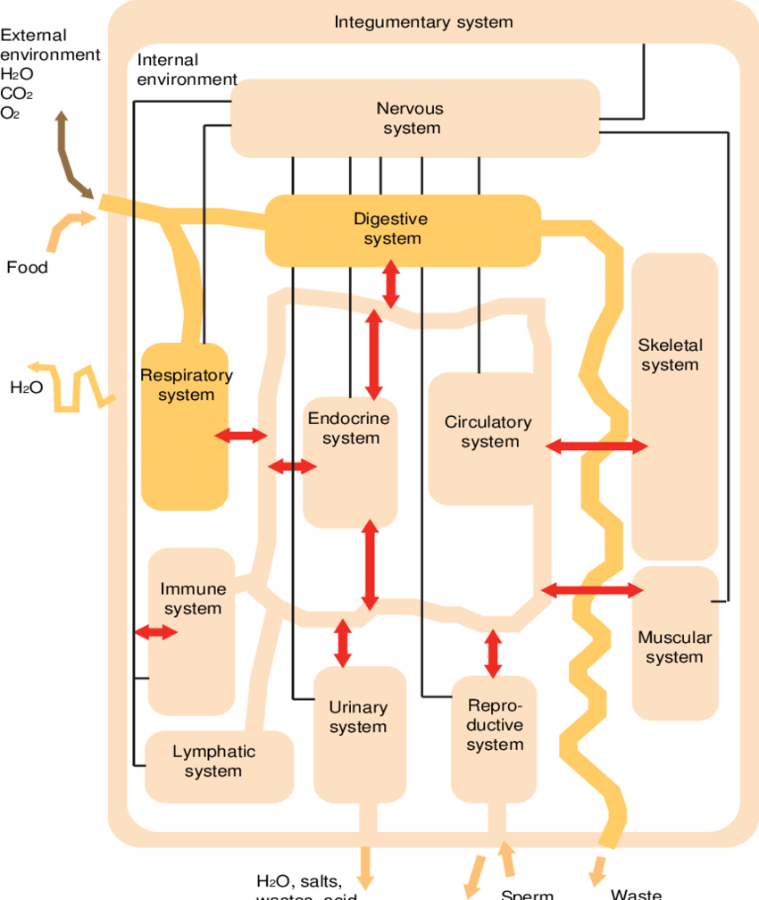 medium resolution of integration of human body organ systems adapted from tibodeau patton 2010