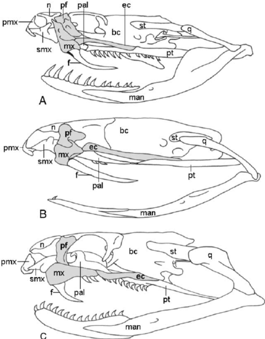 Diagrammatic left lateral views of the skull of vipers (A